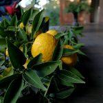 大徳寺大慈院の柚子を頂きました。