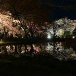 京都植物園の夜桜特別拝観