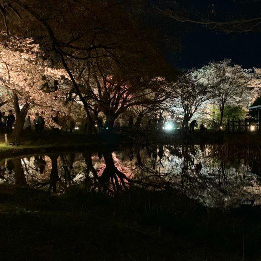 京都植物園の夜桜
