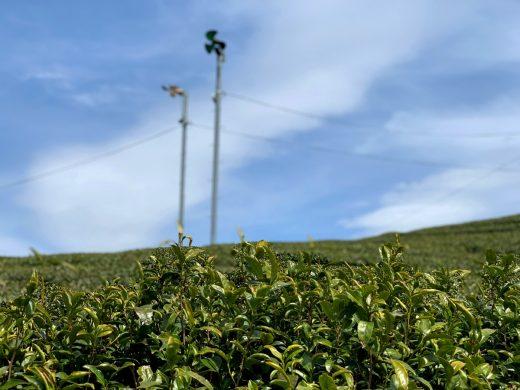 宇治田原町の茶畑