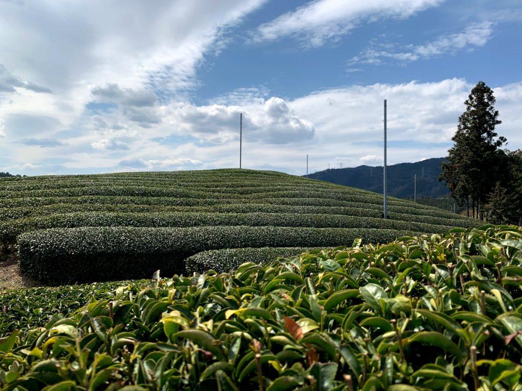 宇治茶の産地の茶畑