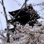 世界遺産仁和寺の桜と五重塔