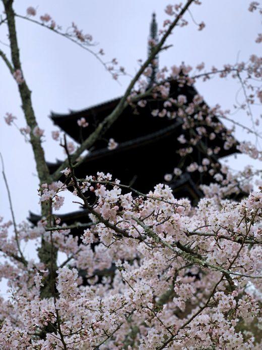 仁和寺の桜 令和2年