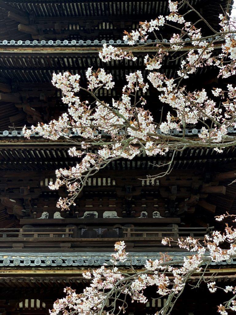 仁和寺の桜 五重塔 令和2年