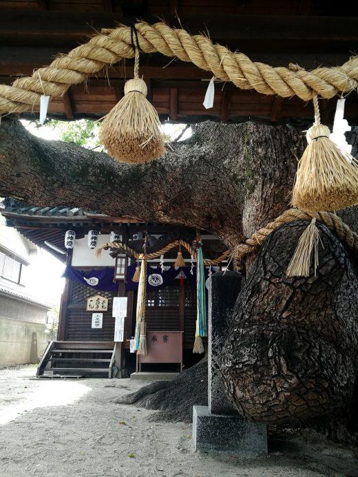三島神社 薫蓋樟(くんがいしょう)
