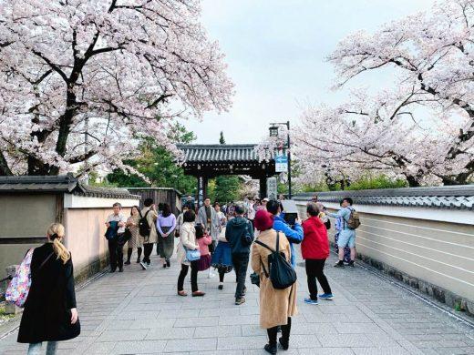 花見小路の桜 建仁寺前