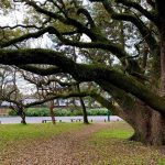 京都御所の木